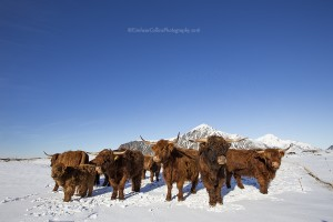 Norway-2-March 2016-Highland Cattle-SMALL-IMG_1671